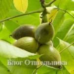 Маньжурский орех