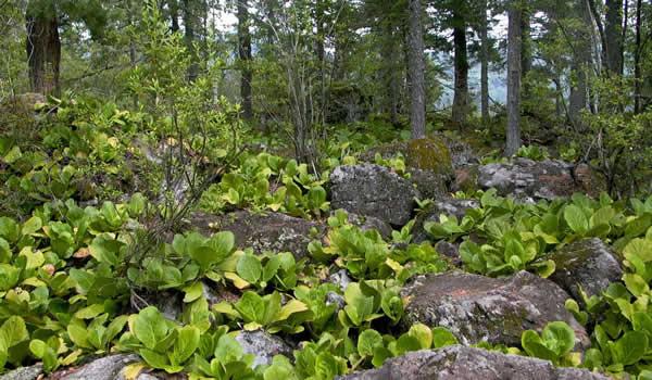 Лечебное растение Бадан