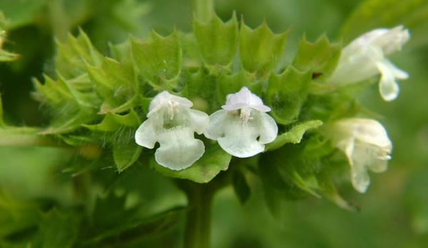 Лечебное растение Мелиса