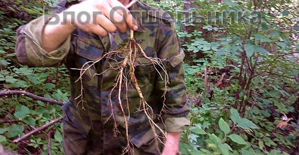 Женьшень в Яковлевском районе Приморского края