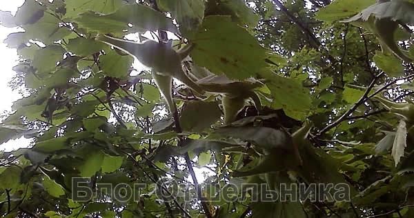 Маньчжурская лещина