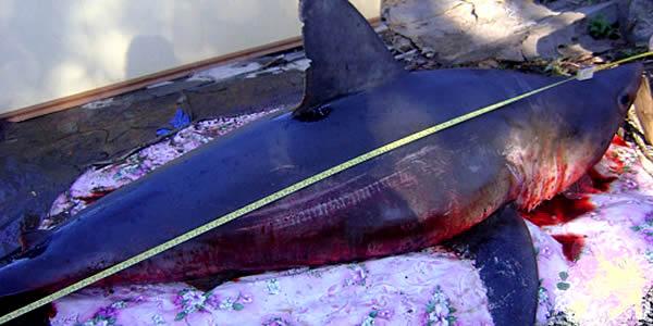 Рыбаки Приморья поймали акулу