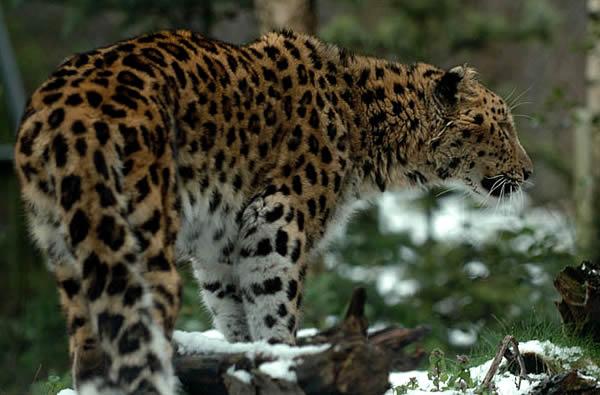 Спасение Амурского леопарда