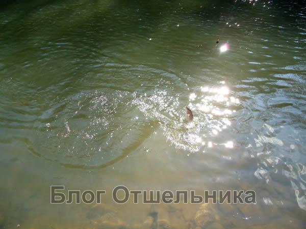 Ленок, Хариус в реке Муравейка