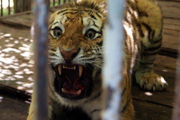 Тигрица Роскошь