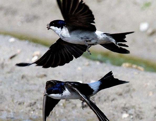 Ласточки летят низко к дождю