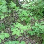 Женьшень в лесу