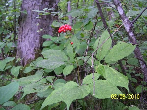 Женьшень и его выращивание в сибири 59