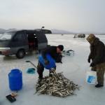 Собираем улов наваги
