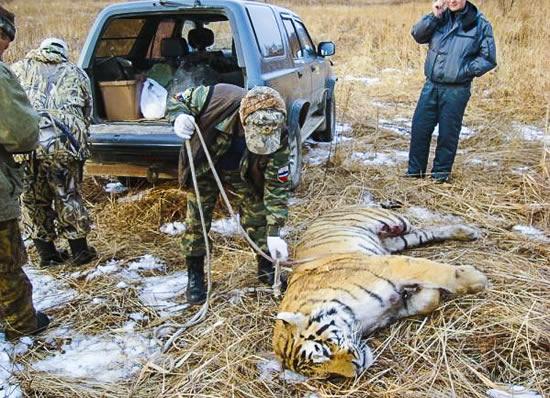 Убит Уссурийский тигр