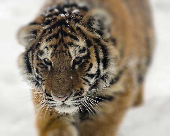Подвид Амурского тигра