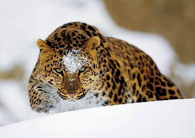 учет леопарда