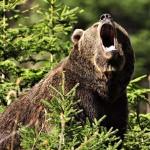 медведя