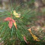 листок клена