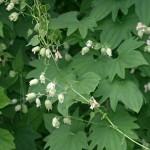 Dioscorea nipponica
