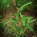 почечуйная трава