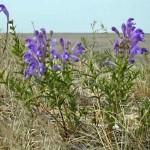 Scutellaria baicalensls
