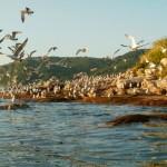 На острове обитает около 60000 чаек